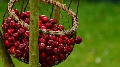 Вишня чи черешня: яку ягоду обрати влітку